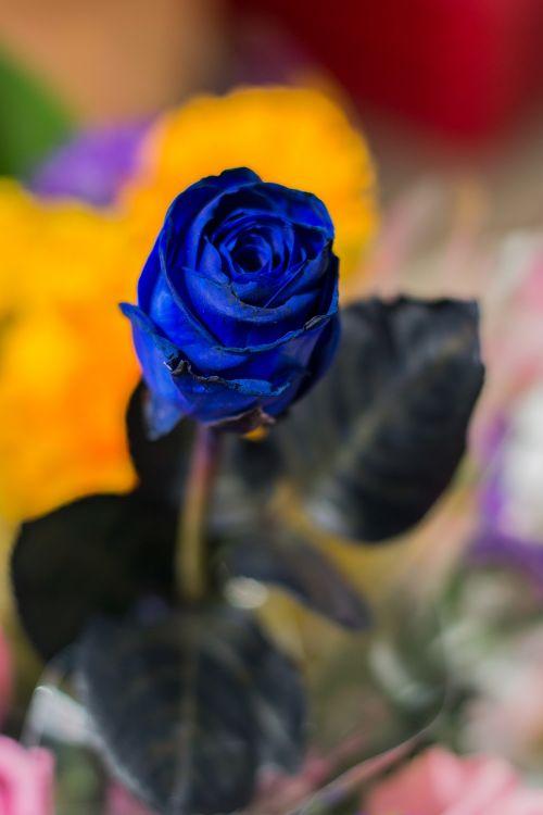 Mėlynos Rožės, Ro, Gėlė, Gamta
