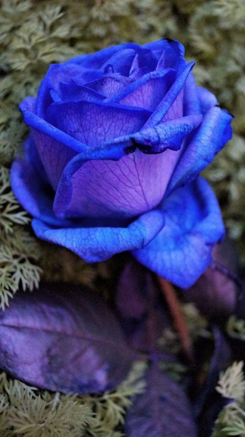 mėlynas, rožė, daugiau, kontrastas, mėlynas rožė daugiau kontrasto