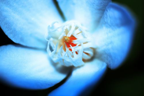 mėlyna & nbsp, vienguba gėlė, mėlyna & nbsp, gėlė, viena gėlė, mėlynos & nbsp, žiedlapių, gėlė, juodas & nbsp, fonas, mėlyna viena gėlė