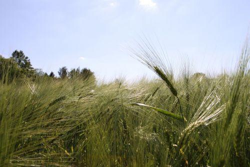 mėlynas dangus,žieminiai miežiai,miežiai,Žemdirbystė,žalias,grūdai,vasara