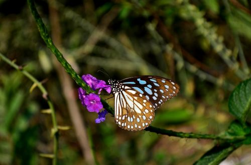 mėlyna tigro drugelis,drugelis,gėlė,vabzdys,mėlynas tigras,tirumala limniace,gamta,mėlynas