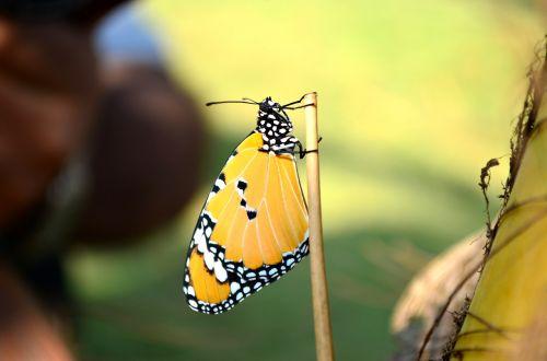 mėlyna tigro drugelis,drugelis,vabzdys,mėlynas tigras,tirumala limniace,gamta,mėlynas