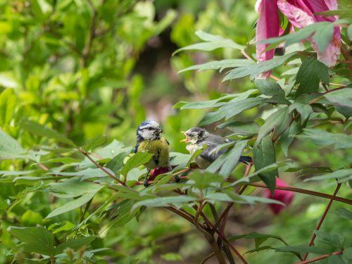 mėlynas dantis,jaunas paukštis,giesmininkas,maža paukštis,paukštis,paukščiai,jaunas gyvūnas,šunys,maitinimas,farley,jaunas