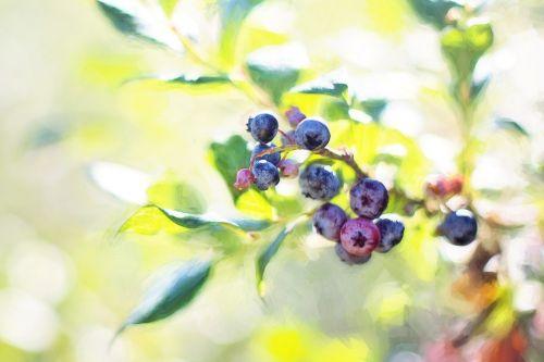 mėlynės,krūmas,vasara,vaisiai,gamta,mėlynieji,uogos,sveikas,maistas,ekologiškas,mėlynas,šviežias,saldus,prinokę