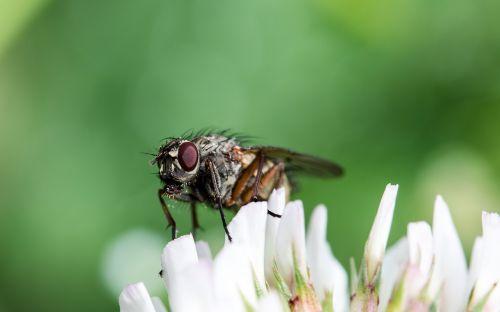 Bluebottle,kaligrafos,skristi,brachycera,vabzdys,plaukai,ieško maisto,gyvūnas,laikytis,balta dobilų gėlė,sėdi ant gėlių,Uždaryti