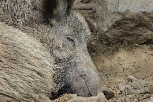 šernas, kiaulių, gyvūnas, Šernas, purvo, Miegamųjų vietų skaičius, Deer Park, pobūdį, ramybės