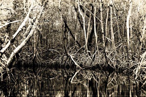 pelkės,pietų valstybės,juoda ir balta,mangroviai,pelkės