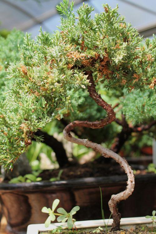 bonsai medis,ornamentinis medis,augalas,sodininkystė,medis,vazoninis medis,miniatiūrinis medis,figūra,mažas medis,mažas šveitimas,rytietiškas,japonų menas,kinų menas,šiltnamyje,puodai,gamta,gintaro avalona