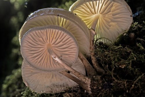 knygos gleivių austrių grybai,grybai,medžio grybas,medžių grybai,šviesos,lamellar,struktūra,grybų bazė,miško grybai,balta,grybų skrybėlę,grybų grupė