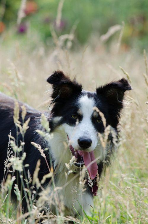 sienos kolis, aukšta žolė, vasara, šiltas, trispalvis šuo, saulė, šunų žolė aukšta