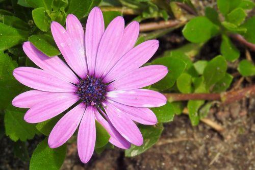 bornholm marguerite,magaritas,rožinis,žiedas,žydėti,gėlė,bornholm