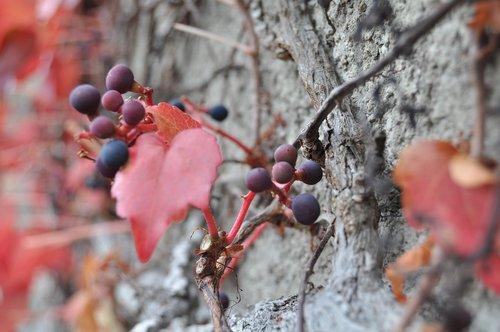 Botanikos, botanikos sodas, bonatical sodas, liguistas, ruduo, nuotaika, floros, augalų, botanika, Sodas, pobūdį, Botanikos, raudona, lapai, vyno, vyno partneris, hauswand, Ranke, raudoni lapai, patenka žalumynai, spalvos, šviesus, laikinumą, ruduo nuotaika