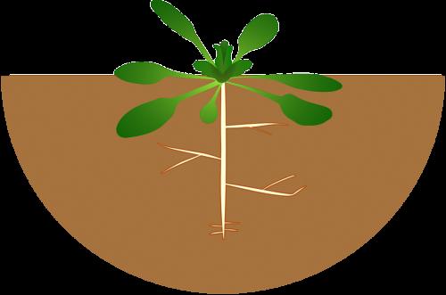 botanika,augalas,šaknys,nemokama vektorinė grafika
