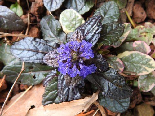 botanika,mėlyna gėlė,augalai žydintys