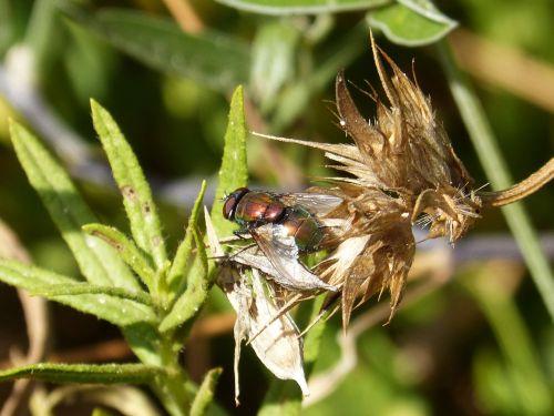 botfly,nemalonumas,raudonas skristi