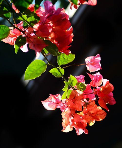 Bugenvilija,gėlės,žiedai,gamta,sodas,rytas,Šri Lanka,ceilonas,Mawanella