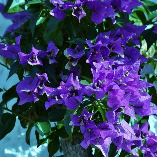 Bugenvilija,violetinė,gėlė,žydintis krūmas,sodas,vasara,gražus,flora,žiedlapiai,sezonas,krūmas,krūmas,žydi