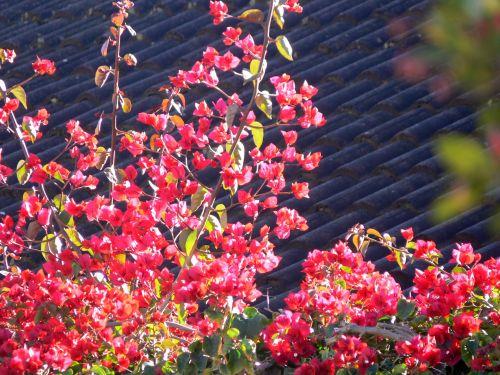 Bugenvilija, gausus & nbsp, žiedas, gėlė, spalvinga, Bugenvilija virš stogo čerpių