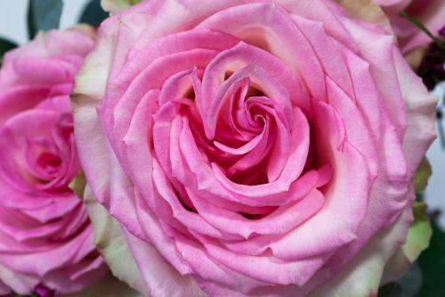 puokštė,rožė,makro,gėlė,kompozitai,ruduo,gamta,augalas,balta,pastellfarben,rožinis,užpildyti,sodrus,dekoratyvinis