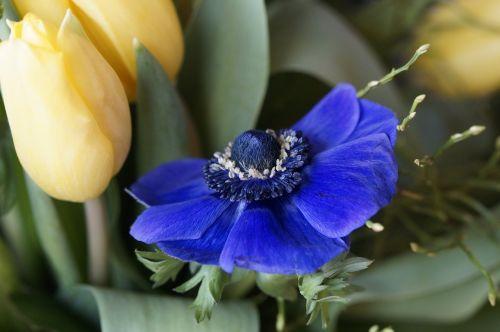 puokštė,tulpė,pavasaris,gėlės,schnittblume,flora,žiedas,žydėti,pavasario puokštė,pavasario gėlė,tulpių puokštė,augalas,gimtadienio puokštė,geltona,strausas,anemonis,vainikinė anemone,mėlynas,šviesus,gėlių puokštė