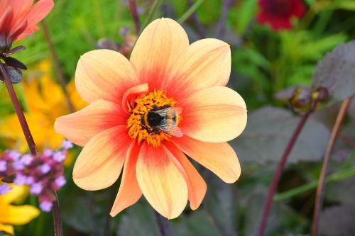 Bourdon,maitinimas,vabzdys,gėlė,gamta,sodas,fauna,spalvos,žiedadulkės,žydėjimas,flora,pašaras,botanika,geltona,žiedlapiai