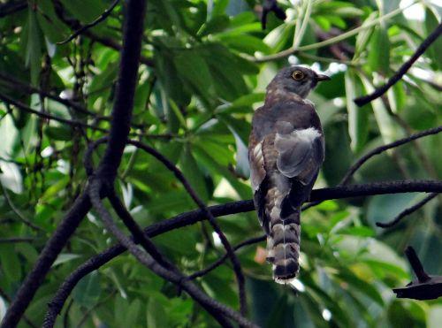 brainfever putra,paprastasis vanagas-gegutė,gegutė,paukštis,hierococcyx varius,ghaziabad,Indija