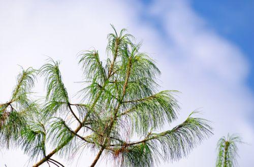 filialas, žalias, adatos, adata, dangus, Iš arti, gamta, medis, filialas