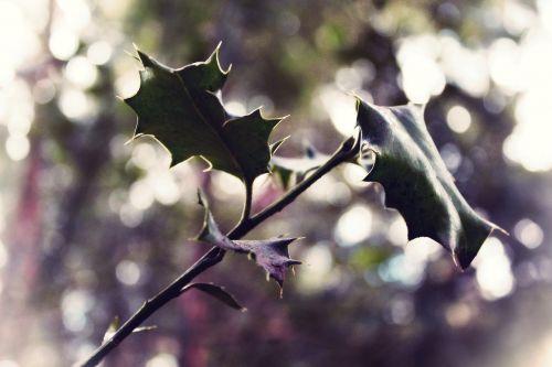 filialas, lapai, krūmas, pavasaris, gamta, žalias, estetinis, miškas, makro, filialai, ruda, gyventi, žiedas, žydėti, omarai, augalas