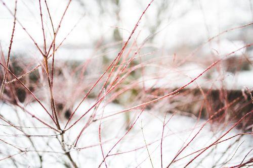 filialas,filialai,žiema,sniegas,Iš arti,Iš arti,Iš arti,raudona,užšaldė,sušaldyta