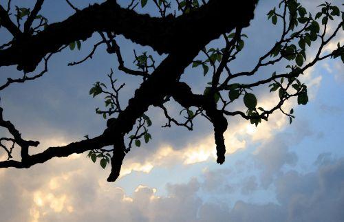 filialas, siluetas, debesis, švytėjimas, filialas sundown