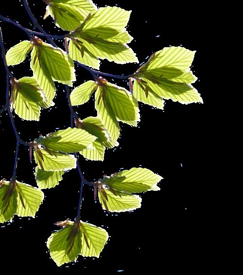 filialai,lapai,medis,pavasaris,žalias,žalias lapas,gamta,augalas,medžių ūgliai