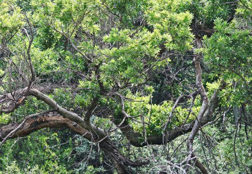 medis, filialai, storas, išlenktas, lapija, žalias, filialai ir žalumynai