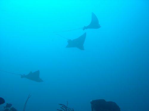 veislė,žuvis,rasės,Sulawesi,Walea,panardinimas