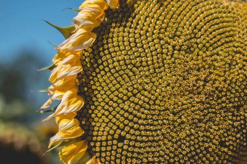 šviesus,Iš arti,spalva,diskiniai florets,flora,gėlė,auksas,augimas,šviesa,makro,lauke,modelis,vasara,saulėgrąžos,tekstūra