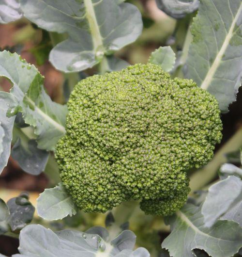 Brokoliai,daržovių,žaliavinis