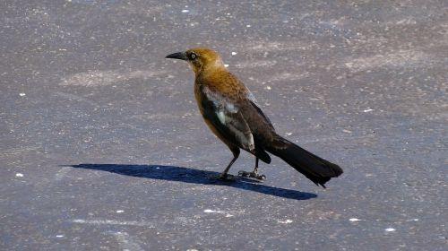 rudoji paukštis,paukštis,laukinis paukštis,laukinė gamta,gyvūnas,didelis snapas,paukščių stebėjimas,vaikščiojanti paukštis