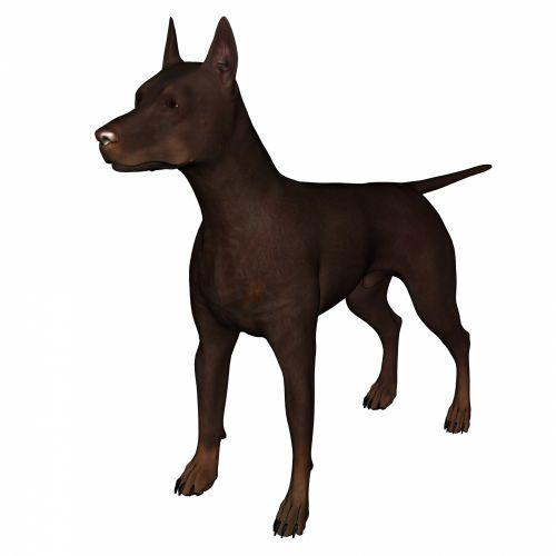gyvūnas, ruda, Dobermanas, šuo, balta, fonas, 3d, piešimas, apsauga, Pinčeris, stovintis, veislė, izoliuotas, ne, snukis, žinduolis, globėjas, tamsi, kenksminga, kulka, kilmės, kailis, galva, saugumas, pincher, tan, apsauga, supjaustyti, grožis, rudas dobermanas