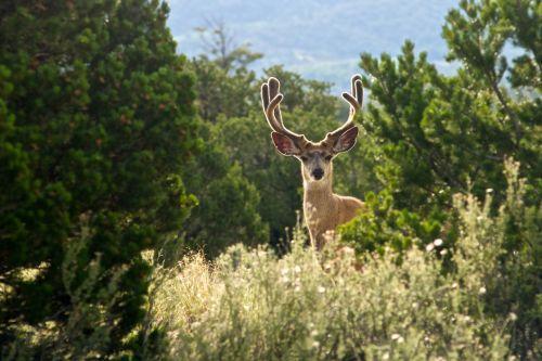 gyvūnas, antlers, Buck, Colorado, elnias, miškas, kailis, medžiotojas, medžioklė, nacionalinis & nbsp, parkas, parkas, Rat, žvilgsnis, valstijos & nbsp, parkas, piktžolės, vakaruose, miškai, Buck with ramunės miškas