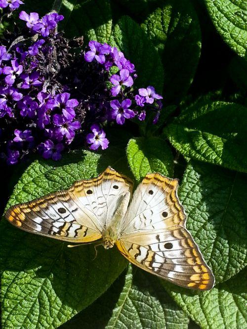 buckeye & nbsp, drugelis, drugelis, vabzdys, sparnuotas & nbsp, vabzdys, žalios spalvos & nbsp, lapai, violetinės & nbsp, gėlės, ruda, violetinė, žalias, gamta, lauke, buckeye drugelis žali lapai