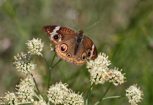 gamta, laukinė gamta, gyvūnai, vabzdžiai, drugeliai, buckeye, buckeye & nbsp, drugelis, dėmės, apskritimai, sparnai, Iš arti, makro, sipping, nektaras, balta, balta & nbsp, laukinės spalvos, žalias & nbsp, laukas, Šalis, žalias & nbsp, fonas, buckeye drugelis ant baltos laukinės srauto