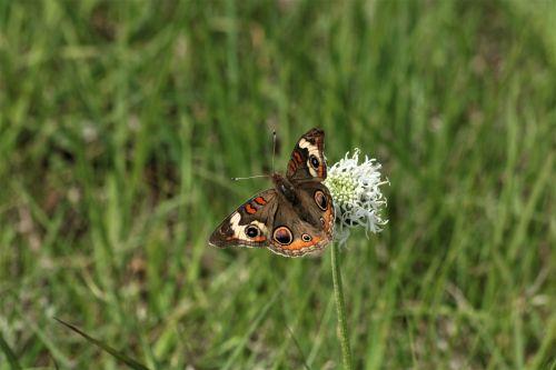 gamta, laukinė gamta, gyvūnai, vabzdžiai, drugeliai, buckeye & nbsp, drugelis, paplitusi & nbsp, buckeye & nbsp, drugelis, sparnai & nbsp, atidaryti, sparnai & nbsp, plitimą, sėdi, sipping, gerti, balta & nbsp, gėlė, balta & nbsp, wildflower, puffball & nbsp, wildflower, žalia žolė, žolės, laukas, buckeye drugelis laukinės spalvos