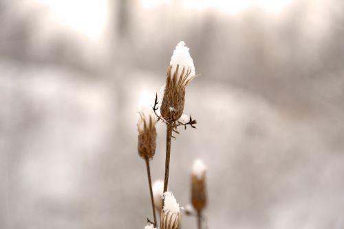 budas,žiema,šaltis,augalas,sausas augalas,sniegas,gamta,miške,po sniegu,ruda,šaltai,Siberija