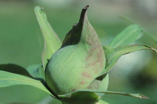 budas,pikonija,flora