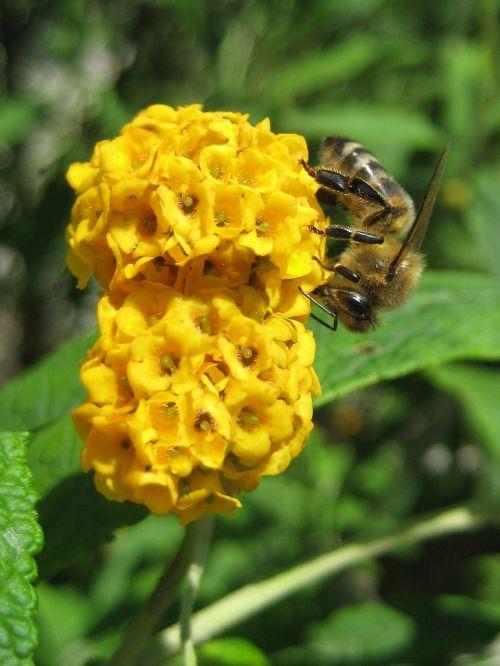 drugelis krūmas,buddleja,gėlė,bičių,geltona