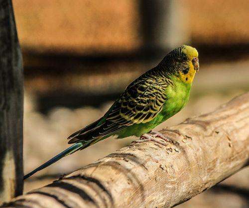 paprastasis paprikas,žalias,paukštis,papūga,parakeet,geltona,budgerigar,melopsittacus undulatus,naminių gyvūnėlių parakeetas,apynių parakoetas,budgie,ilgaplaukiai,sėklų valgymas