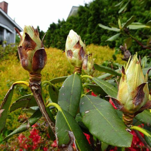 Iš arti, pumpurai, gėlės, nuotrauka, fotografija, žalias, lapai, pumpurai