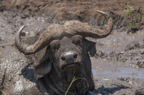 buivolai,safario parkas,pietų Afrika,purvas,purvas,gyvūnas,ragai,galva