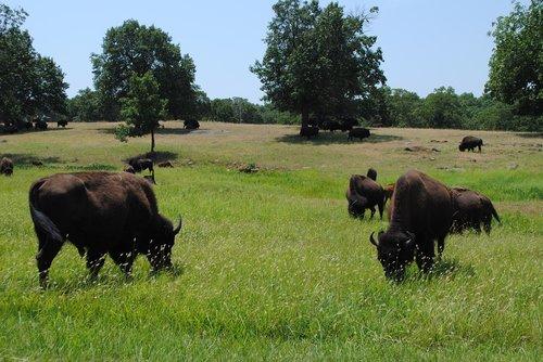 Buffalo, prerijų, Oklahoma, aukšta žolė, kraštovaizdis, Bison, pobūdį, pilietis, pievos, Amerikos, paprastas, Gyvūnijos, bandos, laukas, natūralus, išsaugoti, aukšta žolė, kaimo, woolaroc