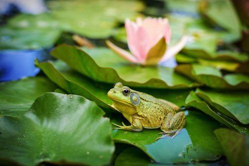 buliukas,žalias,tvenkinys,lelija,varlė,gamta,amfibija,lizdas,laukinė gamta,vanduo,mielas