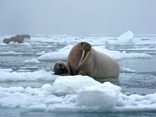 bulviniai jūrų liežuviai,karvė,ledas,sniegas,šaltas,žinduolis,tusks,blubber,laukinė gamta,gamta,laukiniai